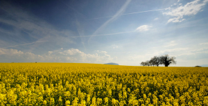 Rapeseed Fields